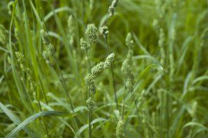 イネ科カモガヤ属の多年草
